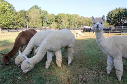 mistletoe_farms_alpaca